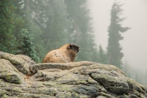 marmot while hiking in Mount Rainier national park
