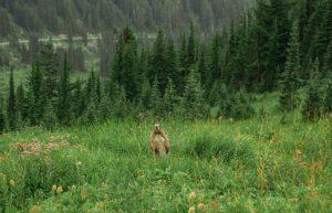 Marmot in Mount Rainier National Park
