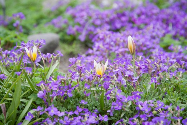 Blomstrende bunddække