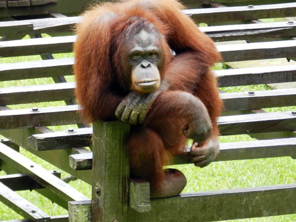 Annie, a female orang utan at Matang Wildlife Centre, Sarawak, Borneo. Annie has been released into the nearby jungle but she keeps breaking her way back in.