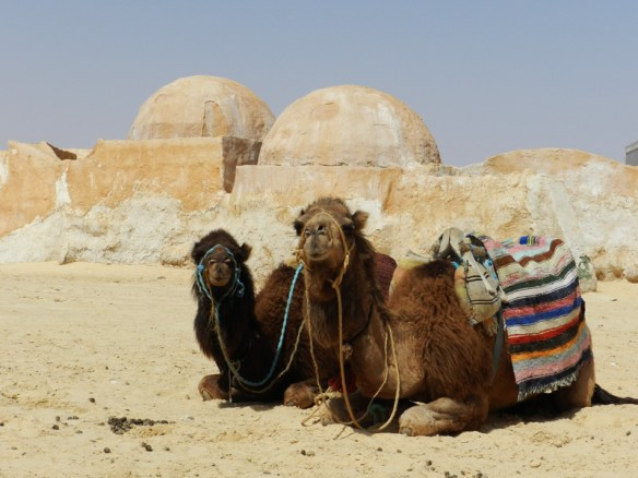 Camels at the Star Wars village of 'Tatooine' near Tataouine in Tunisia.