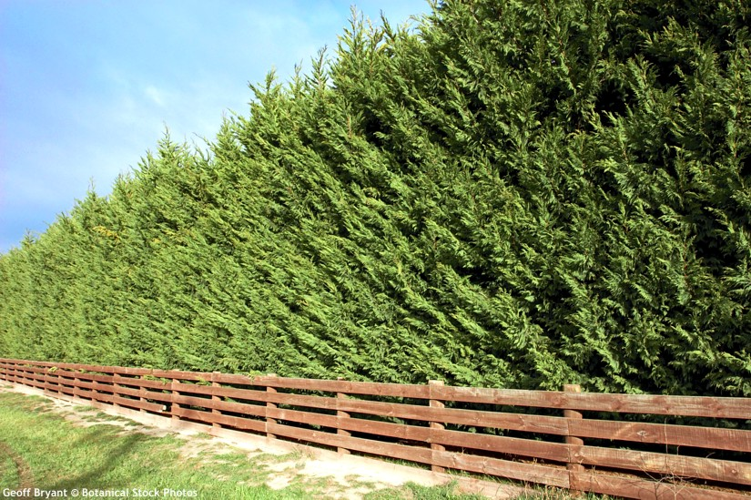 Image result for x cupressocyparis leylandii