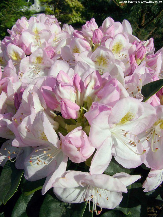 Rhododendron GOMER WATERER Havliscz