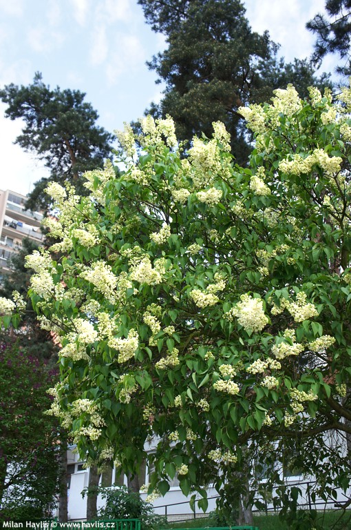 Syringa vulgaris PRIMROSE  Havliscz