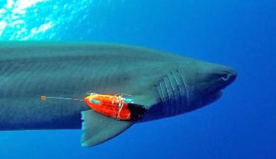A sixgill shark with a combined sensor and video recorder attached to it swims through the ocean.
