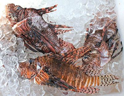 invasive-lionfish