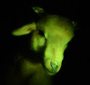 Cloned animals glow green under black light