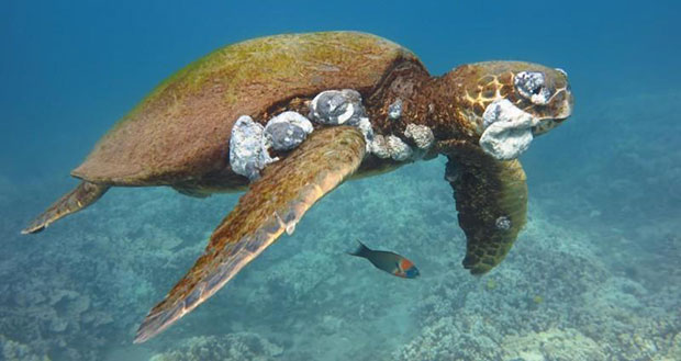 Juvenile green turtle with tumors (credit: Chris Stankis, Flickr/Bluewavechris)