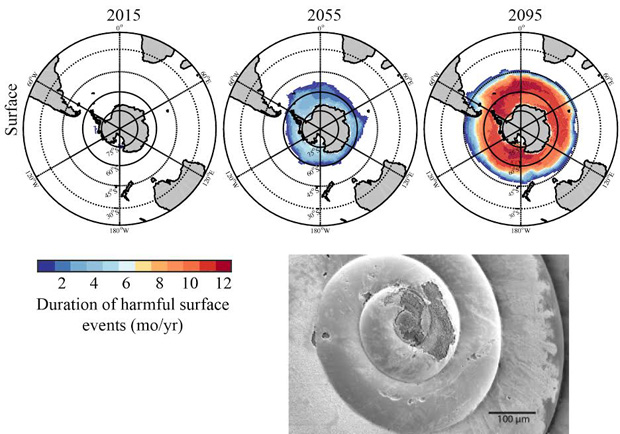 Duration of harmful surface events for today, 2055 and 2095. Inset: Example of pteropod showing in situ dissolution due to ocean acidification. Photo credit: Nina Bednarsek, NOAA