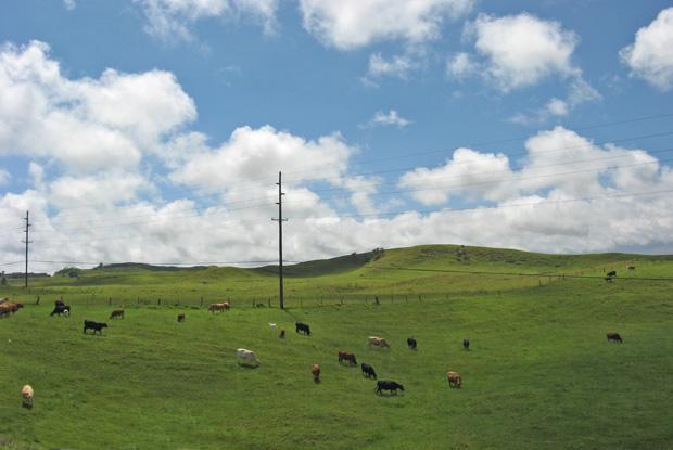 Cattle grazing in pastures in Waimea on Hawaiʻi Island.  Photo: W. Nowicki.
