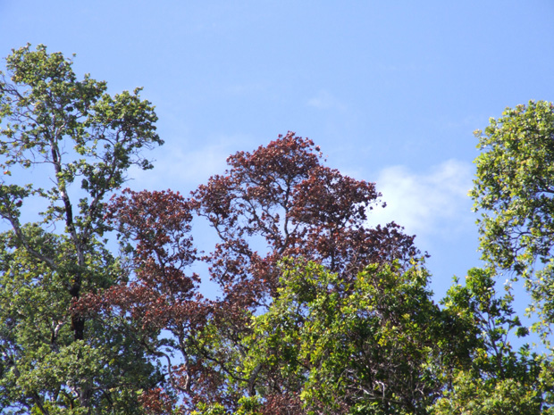 Symptoms of Rapid Ohia Death, caused by the fungus Ceratocystis fimbriata, include rapid browning of affected tree crowns. Photo from C T A H R.