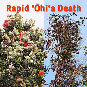 healthy (left) and dying (right) ohia trees