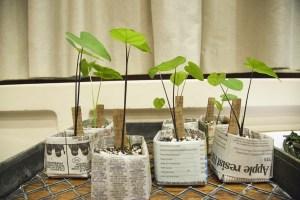 Group Of Taro Plants