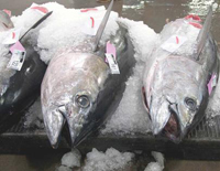 Fresh-caught Ahi tuna