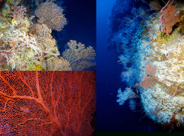Gorgonian (sea fan) corals on the twilight reefs of Pohnpei Island