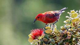 Hawaiian Honeycreeper on o'hia flower