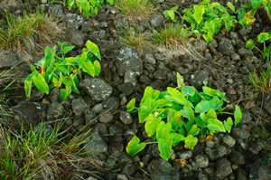 A rock mulch garden on Rapa Nui