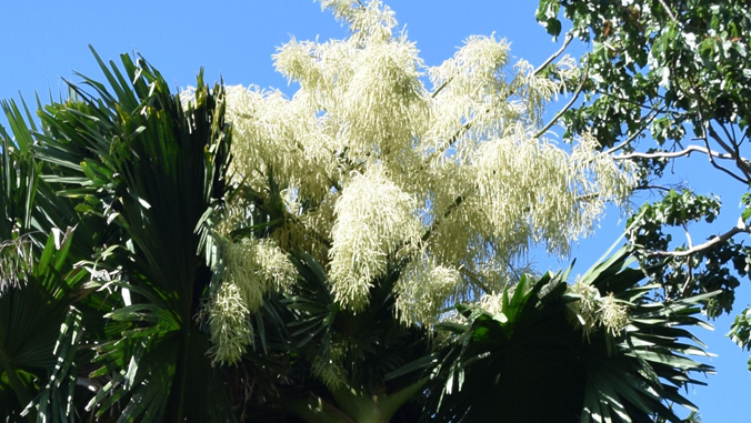 Rarely Seen Bloom Visible At Lyon Arboretum