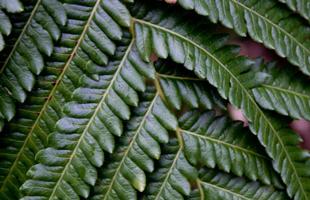 Hawaiian ferns