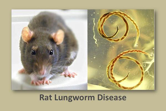 two pictures, a rat and rat lungworms, with words Rat Lungworm Disease below it