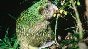 a green New Zealand bird