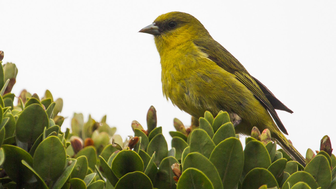 yellow-green bird, Hawaiian honeycreeper