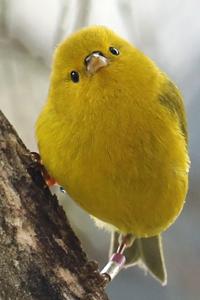 yellow bird, Hawaiian honeycreeper