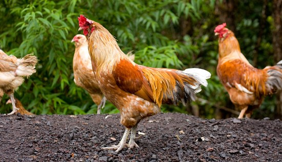 Backyard chickens loose and not in a coop.