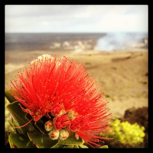 'Ōhi'a Lehua blossoms at Kilauea Caldera with Halemaumau Overlook Vent in the distance. Photography by Baron Sekiya   Hawaii 24/7