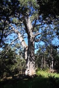 Koa (Acacia koa) in Kona Hema Preserve, South Kona
