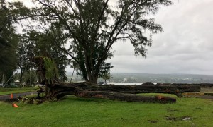 A large Ironwood tree uprooted and downed this past week at Hilo Bayfront. Photography by Baron Sekiya | Hawaii 24/7
