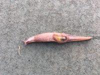 A semi-slug captured in Kohala Middle School students