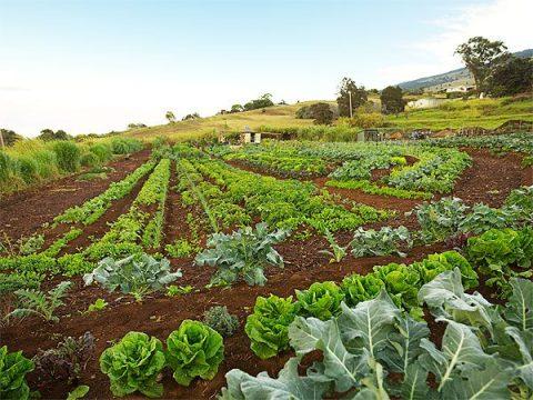 Maui Organic Farms - Long garden beds in rich soil producing greens