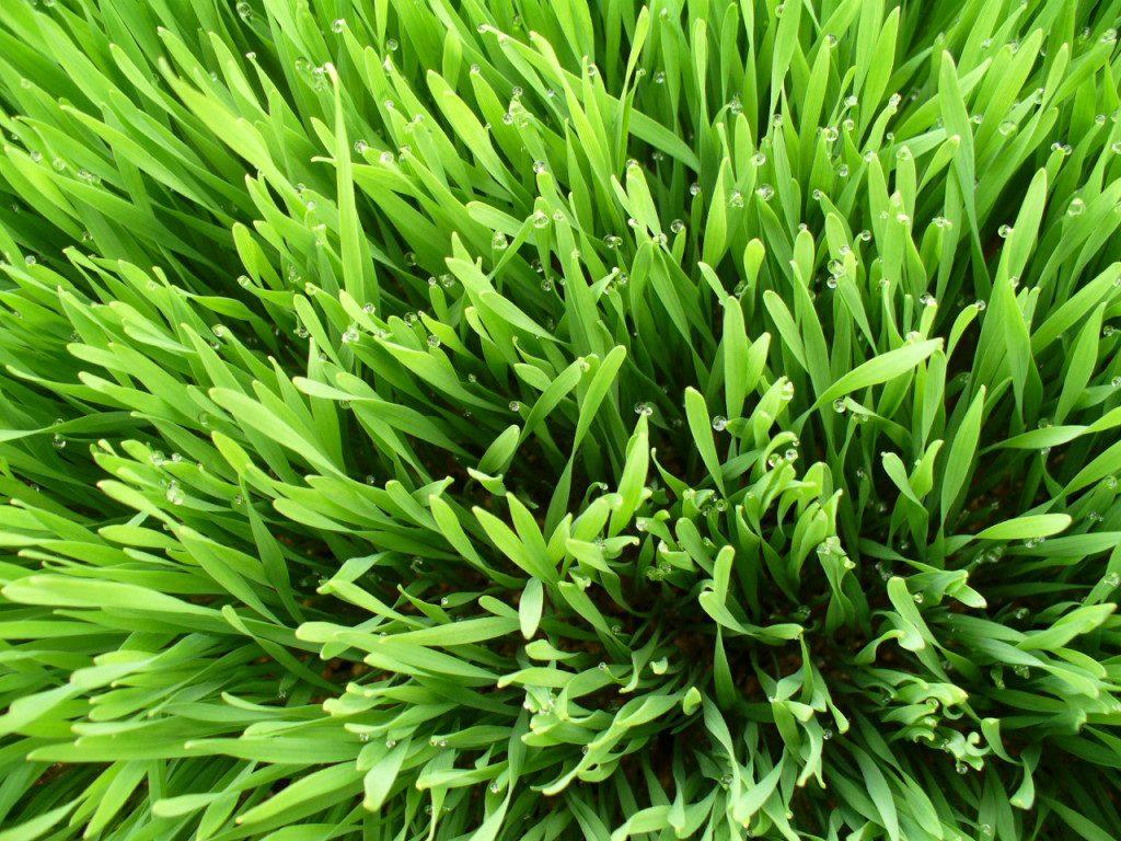 Hawaii sprouts, hawaii microgreens, big island wheatgrass, big island microgreens, big island sprouts