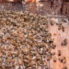 colony collapse, bees