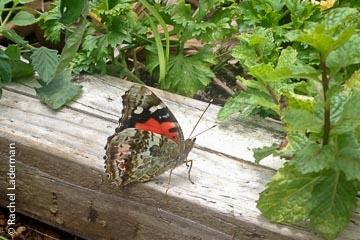 Kamehameha-butterfly2