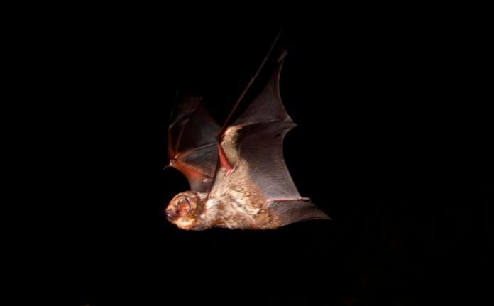 The Hawaiian Hoary Bat in Flight