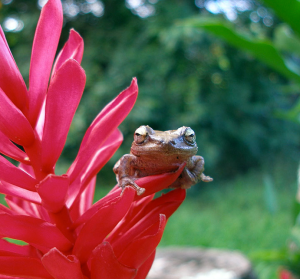 Coqui frog in Hawaii (Photo by Syd Singer)