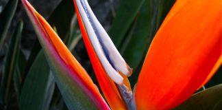 Bird of Paradise Up Close