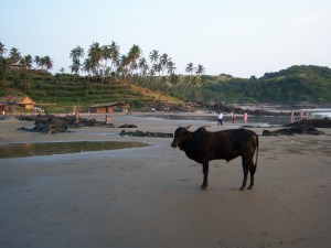 042 The Sacred Cow (2)