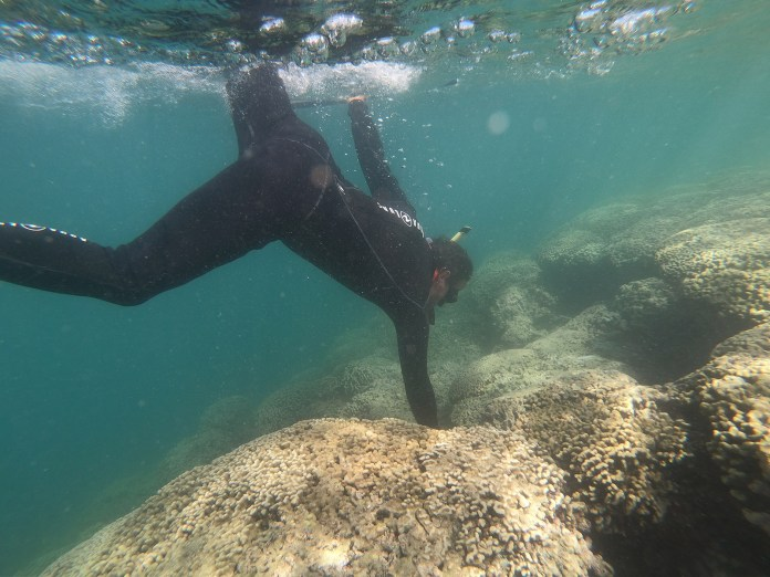 Sea urchin hatchery celebrates seaweed-free Kaneohe Bay