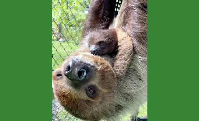 Sloth born at Hilo zoo