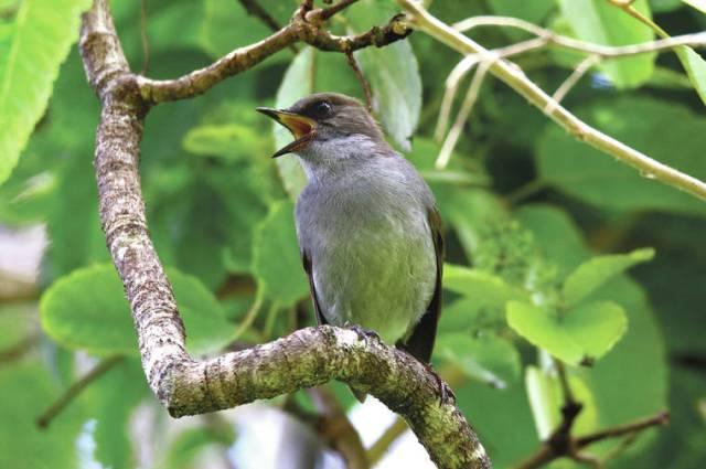 Lyman Museum presents 'Acoustic Ecology of Hawaiian Forest Birds'