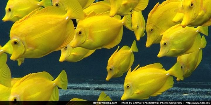 yellow-tang-oceanic-institute-hb