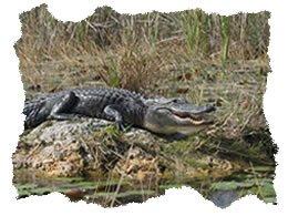 Florida Everglades Alligator