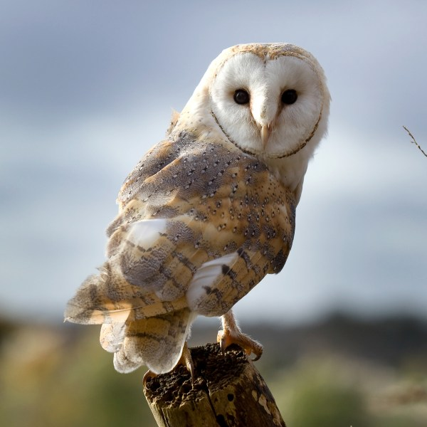 Adopt Charlie the Barn Owl Hawk Conservancy Trust