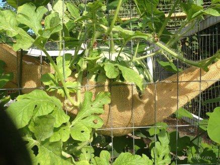Watermelon growing vertically on chicken coop - Hawk-Hill.com