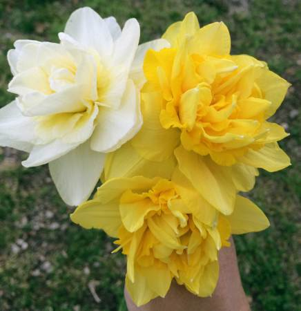 Double Daffodils; Rose of May (white) and Dick Wilden (yellow) varieties.
