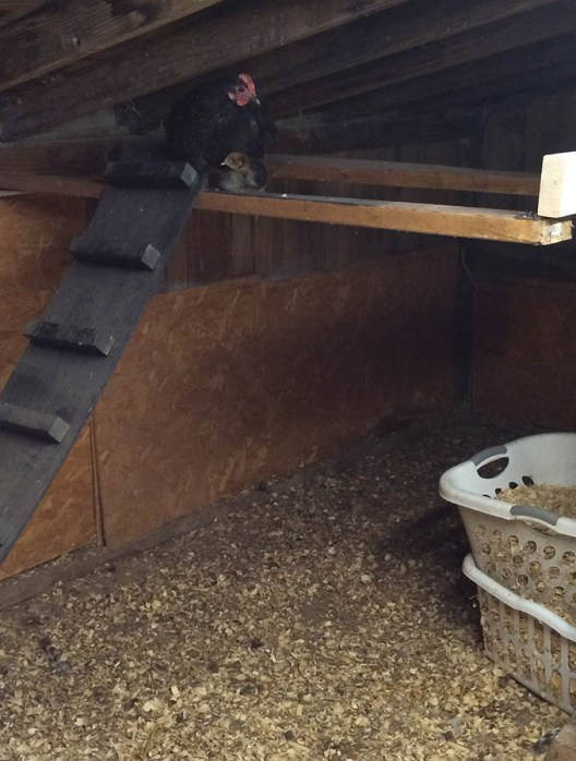 chicken and chick roosting in a sloped-roof chicken coop