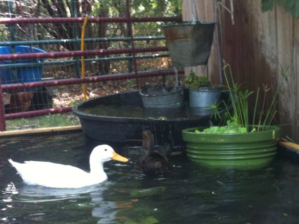 pekin duck in backyard pond